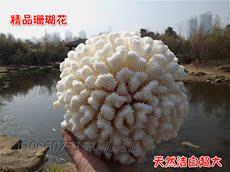 Морская раковина Пост глубоководных кораллов цветок