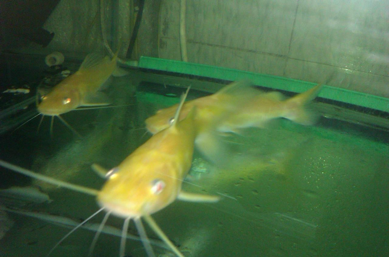 黄金招财猫鱼,招财猫鱼观赏鱼,黄金猛鱼,黄金斑 高清图片